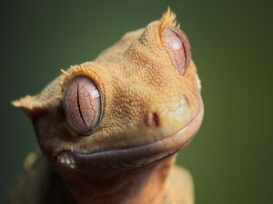 Funny face of a lizard
