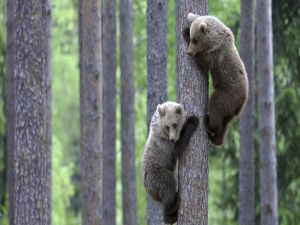 Two little bears up in a tree