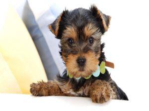 Puppy Yorkshire