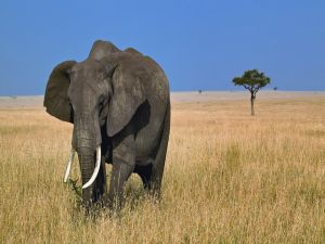 A great lone elephant