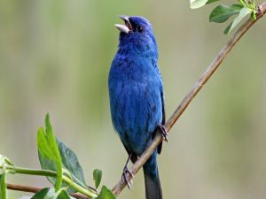 Blue bird singing on a branch