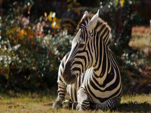 Zebra sitting on the grass