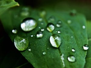 Water drops on a green leaf