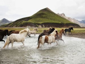 Horses crossing the river
