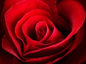 Petals of a red rose