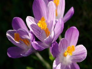 Purple saffrons