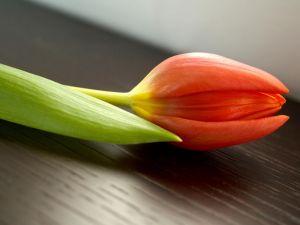Bud of orange tulip