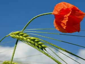 A poppy and green wheat