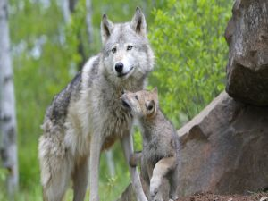 Wolf with a cub