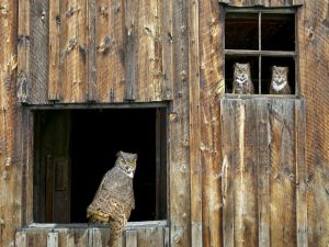 Owls on windows