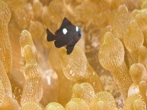 A small black fish