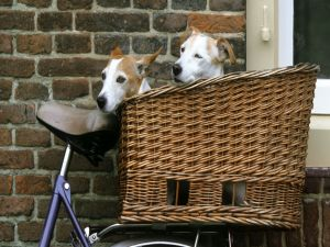 Dogs in the bike basket