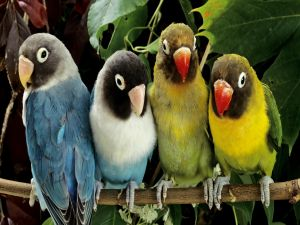 Four lovebirds on a branch