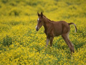 A foal among yellow flowers