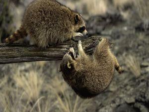 Raccoons playful