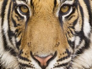 The face of a tiger