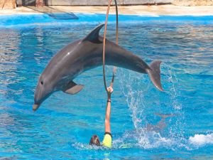 Dolphin jumping through hoops in a dolphinarium