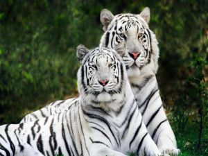 Two beautiful white tigers