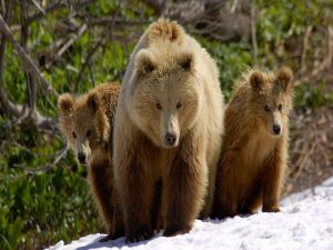 Grizzly bears in the snow