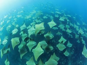 Group of stingrays