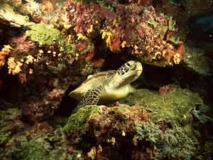 A turtle between marine rocks