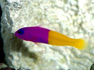 The Royal Dottyback, bright purple and yellow