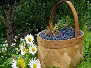 Basket full of wild blueberries
