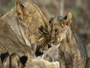 Lioness with a cub