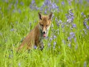 A fox among the flowers