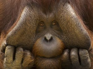 The face of an orangutan