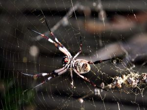 A large spider in its cobweb