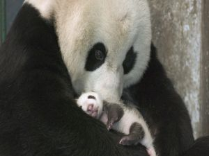 Panda mom with her baby