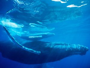 Whale and its calf