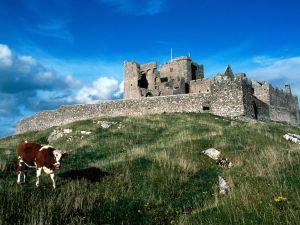 Cow grazing near a castle