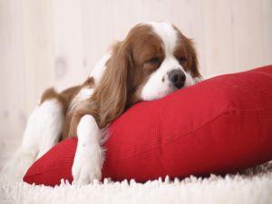 Dog sleeping over red cushion