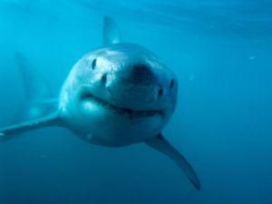 The shark face