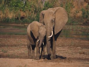 Little elephant with his mother
