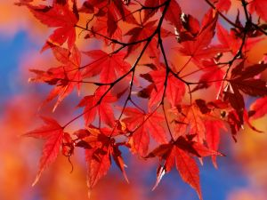 Red leaves of a tree