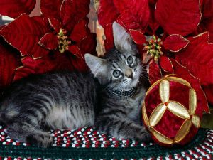 Cat beside a poinsettia