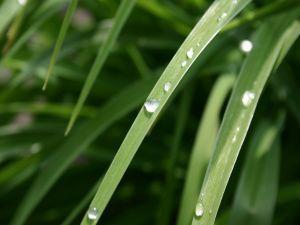 Water drops on the leaves of a plant