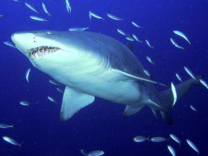 Shark with small fish around