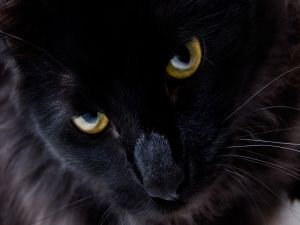 Black cat with golden color eyes