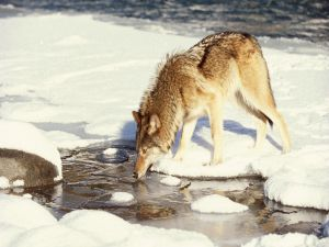 Wolf drinking ice water