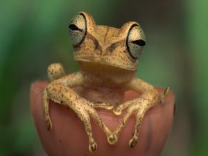 Frog with very bulging eyes