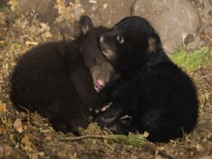 Two brothers bear cubs