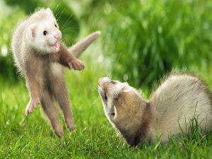 Playful ferrets