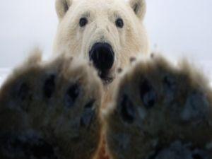 The claws and the head of a polar bear