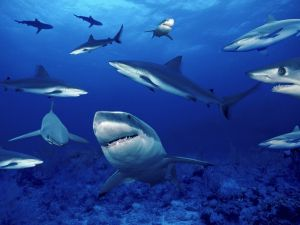 Sharks close to the seabed