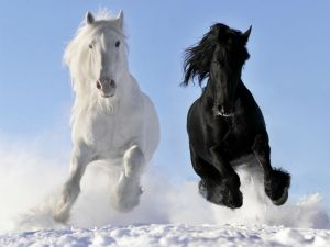 Black and white horses galloping on snow