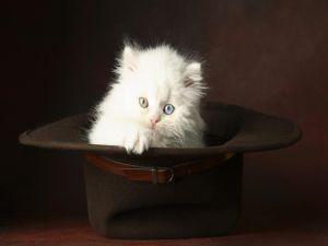 White kitten in a hat